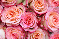 Pink roses background. Background of closeup view of pink roses Royalty Free Stock Images
