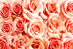Pink roses background Royalty Free Stock Images