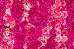 Pink roses background Royalty Free Stock Photography