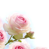 Pink roses background, floral border. With gradiant from blue to white dedicated for a romantic or love card, close up of the flowers stock images