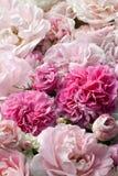 Pink roses. Stock Photos