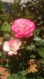 Pink roses in backyard of my house. Wild roses trapped in a pot of my house Stock Photos