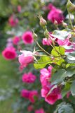 Pink roses. Beautiful pink climbing roses in the garden Stock Photos