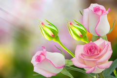 Pink roses. Beautiful pink rose in a garden Stock Photos
