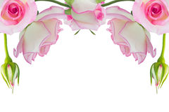 Pink roses. Beautiful pink rose rose with leaves isolated on white Royalty Free Stock Images