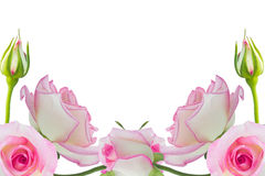 Pink roses. Beautiful pink rose rose with leaves isolated on white Stock Photography