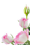 Pink roses. Beautiful pink rose rose with leaves isolated on white Royalty Free Stock Photography