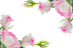 Pink roses. Beautiful pink rose rose with leaves isolated on white Stock Images