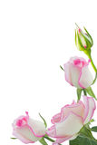 Pink roses. Beautiful pink rose rose with leaves isolated on white Stock Photos