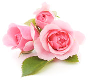 Pink Roses. Beautiful pink roses on a white background Royalty Free Stock Photos