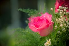 Pink roses in a beautifully landscaped garden on a green backgro Stock Photos