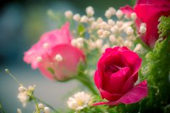 Pink roses in a beautifully landscaped garden on a green backgro Stock Photo