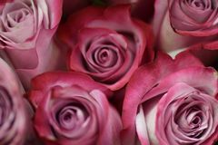 Pink Roses. The beauty of pink roses Stock Image