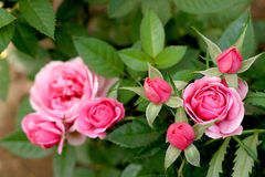 Pink roses. Big rosebush with pink flowers in Byelorussia Royalty Free Stock Photography