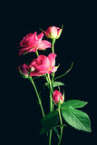 Pink roses on black background Stock Photos