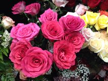 Pink roses in bloom Royalty Free Stock Images