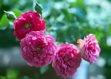 Pink Roses in bloom. In a garden stock photos