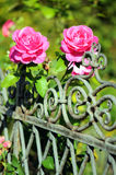 Pink roses blooming on a garden fence. Royalty Free Stock Photo