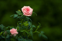 Pink roses. Royalty Free Stock Images