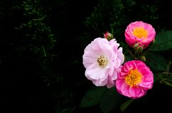 Pink roses blooming on its tree isolated on dark pine tree background stock image