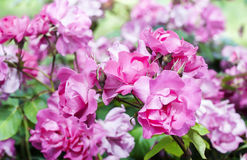 Pink roses blossoms. Cyclamen Royalty Free Stock Image