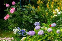 Pink roses, blue hortensia and pansies in the home garden. Beautiful blooming flowers in the home garden, roses, hydrangeas, petunias Royalty Free Stock Photos