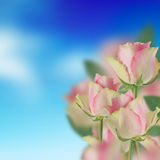 Pink roses and the blue sky Stock Image