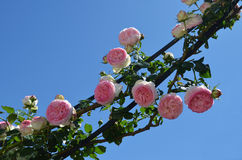 Pink roses and blue sky. Pink roses under blue sky Royalty Free Stock Images