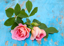 Pink roses on blue wooden background Stock Photos