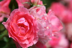 Pink roses with blurred background Royalty Free Stock Photos
