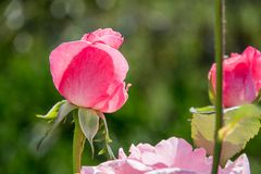 Pink roses with blurred background Royalty Free Stock Images