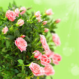 Pink roses with bokeh lights background Stock Photo