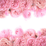 Pink roses border. Design isolated on white Stock Photography