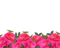 Pink Roses Border Background Stock Photos