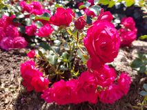 Pink roses in a botanical garden royalty free stock photos