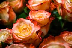 Pink roses in a bouquet royalty free stock photo