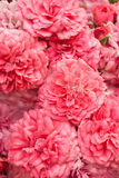Pink roses bouquet background Royalty Free Stock Photo