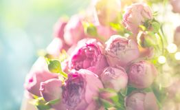 Pink roses bouquet. Blooming rose flowers bunch in sun light, nature. Pastel colours stock photography