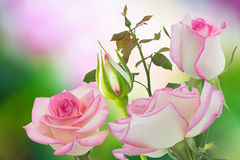 Pink roses. Bouquet of delicate roses, floral background Stock Images
