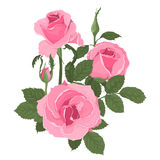 Pink roses bouquet with leaves Royalty Free Stock Photography