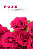 Pink roses bouquet with sample text on white background Royalty Free Stock Image