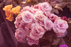 Pink Roses. Bouquet of  small and pink roses Royalty Free Stock Image