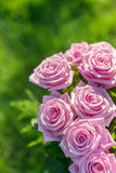 Pink roses bouquet Stock Images