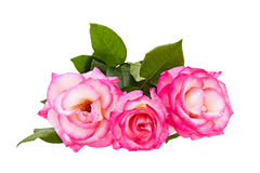 Pink roses bouquet on a white background Royalty Free Stock Photography