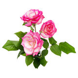 Pink roses bouquet on a white background Royalty Free Stock Image