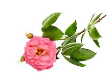 Pink roses bouquet on a white Royalty Free Stock Photo