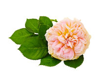 Pink roses bouquet on a white background isolated Stock Images