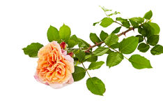 Pink roses bouquet on a white background Stock Images