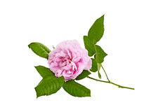 Pink roses bouquet on a white background Stock Photo