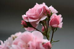 Pink roses on branch Stock Photos